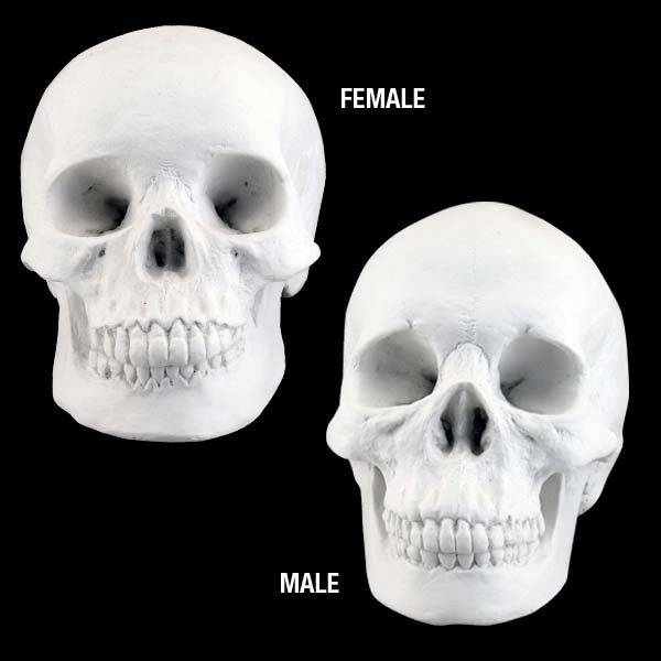 Plaster Cast 2-Piece Skull Set Male/Female